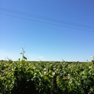 Grape vines in Swan Valley